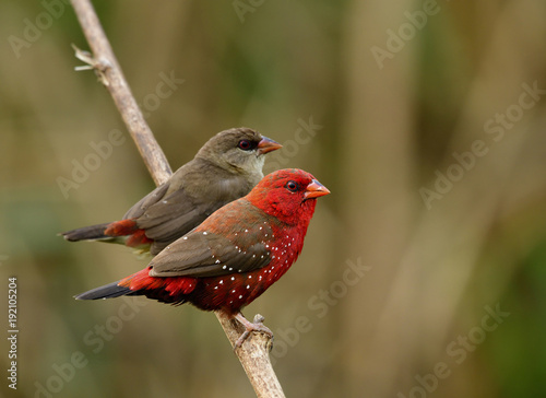 Photo  Sweet pair of red and brown bird perching together on wooden stick in romance mo
