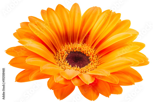 Staande foto Gerbera Orange gerbera flower isolated on white background