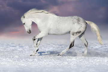 Beautiful white horse run in snow field