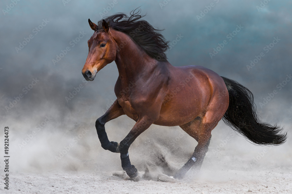Fototapety, obrazy: Bay horse in dust run fast against blue sky
