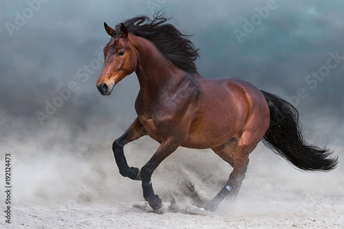 Bay horse in dust run fast against blue sky