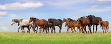 Horse Herd Run Fast On Spring Green Pasture