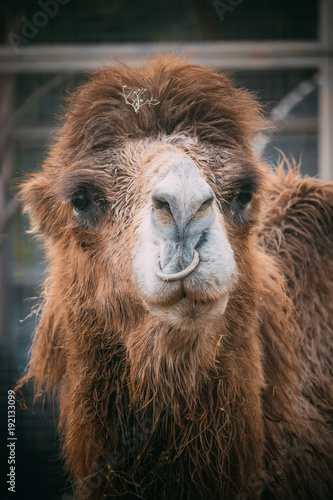 Staande foto Lama camel