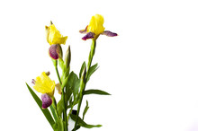 Yellow Iris Flowers On White T...