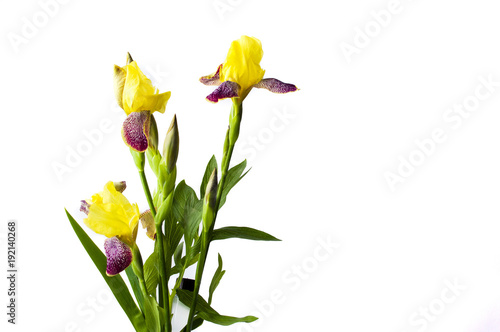 Poster Iris Yellow iris flowers on white textile background