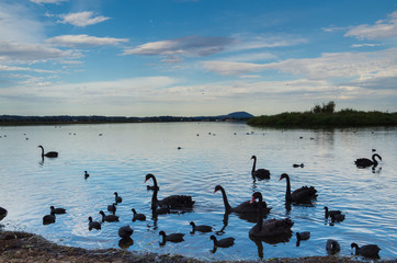 Black swans on the shores of Lake Wendouree in Ballarat