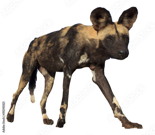 Poster Hyène African Wild Dog (Painted Wolf) isolated on white background