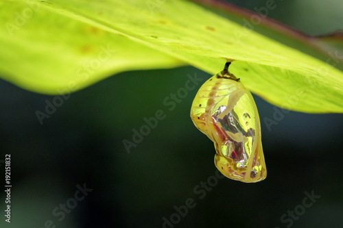 Image of chrysalis butterfly pupa hanging under the green leaves Fototapete