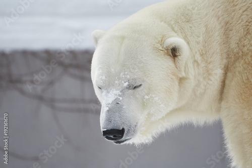 In de dag Ijsbeer 冬のシロクマ