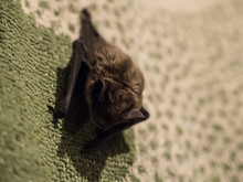 Small Cute Scary Bat Found On Pillow In Evening