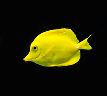 Yellow Tang Fish Isolated On B...