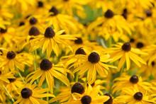 Black Eyed Susan- Rudbeckia Flowers