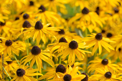 Black eyed susan- rudbeckia flowers Canvas-taulu