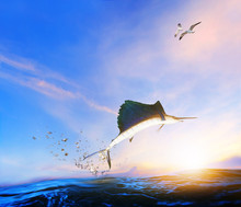 Blue ,black Marlin Fish Jumping To Mid Air Over Blue Sea And Sea Gull Flying Above