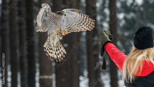 Fotografie, Tablou  Falconer woman catches the falcon for food in hand.