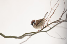 Small Sparrow On Twig Closeup. Snowy Tree In Winter Time. Birds Photography