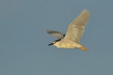 Black Crowned Night Heron In F...