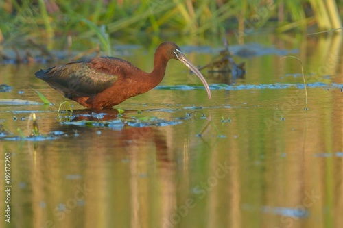 Fotografía  Glossy Ibis searching food