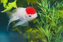 Lionhead White Goldfish In Aqu...