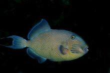 Yellowspotted Triggerfish (Pse...