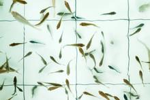 Doctor Fish. Garra Rufa Swimmi...