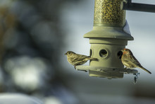 House Finch & Female Red Winged Blackbird At A Bird Feeder