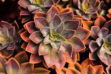 Succulent Plant Purple Orange Golden Ratio