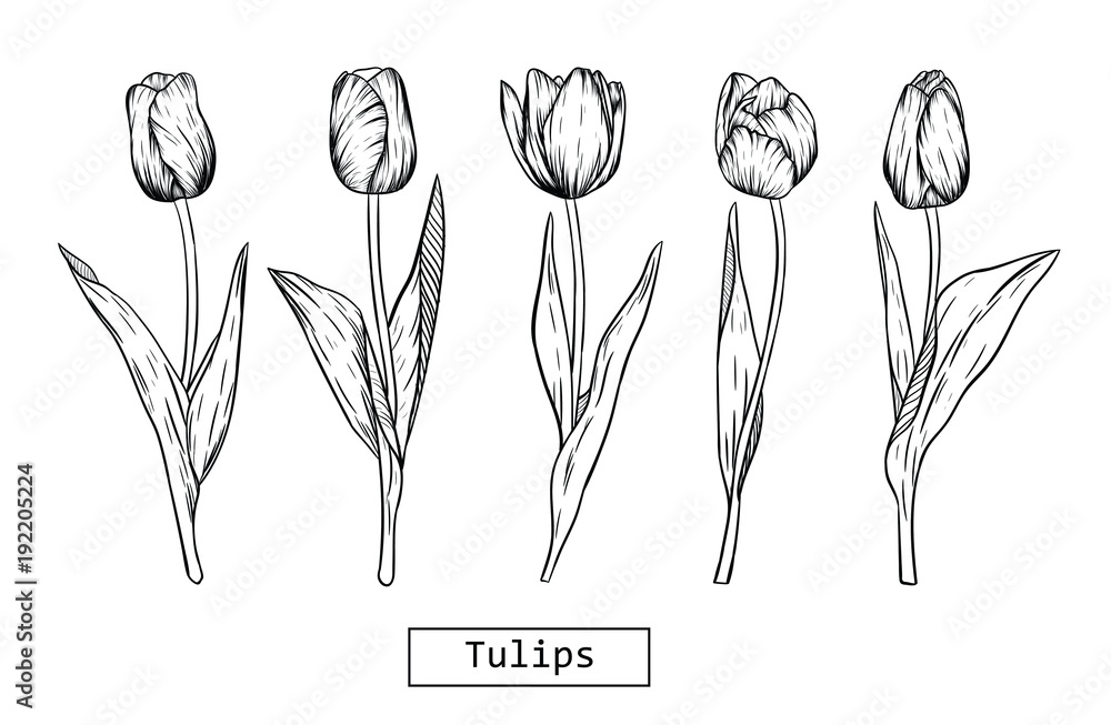 Hand drawn illustration and sketch Tulips flower. Black and white with line art illustration.Idea for business visit card, typography vector,print for t-shirt. <span>plik: #192205224 | autor: Moschiorini</span>