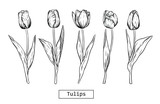 Fototapeta Tulipany - Hand drawn illustration and sketch Tulips flower. Black and white with line art illustration.Idea for business visit card, typography vector,print for t-shirt.