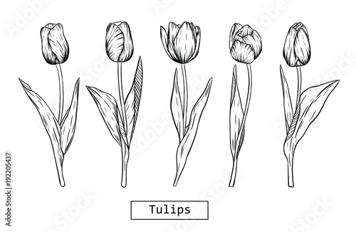 Hand Drawn Illustration And Sketch Tulips Flower Black And