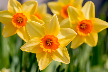 Yellow with an orange cup daffodils in the spring garden.
