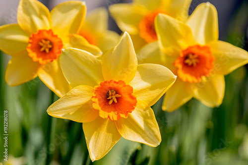 Deurstickers Narcis Yellow with an orange cup daffodils in the spring garden.