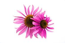Sonnenhut Blume Pflanze Isolie...