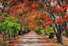 Flame Trees, Mauritius