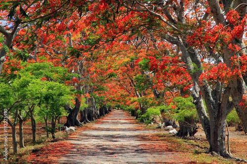 Fotografie, Obraz Flame trees, Mauritius