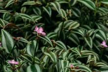 Close View Of Tradescantia Zebrina, Formerly Known As Zebrina Pendula