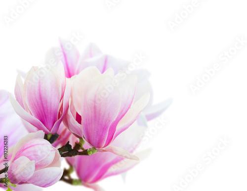 Cadres-photo bureau Magnolia Blossoming pink magnolia Flowers