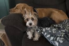 Portrait Of Yorkshire Terrier By Sleeping Dog On Sofa At Home