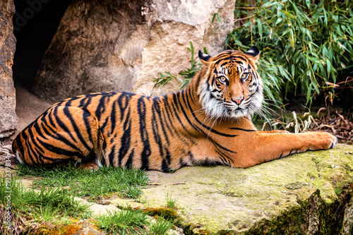 Foto op Canvas Tijger Sumatran tiger