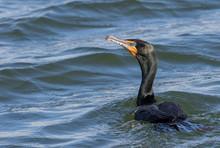 Double-Crested Cormorant Swiming