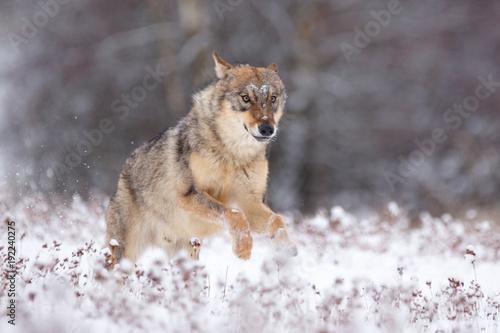 Wolf im Winter Canvas Print