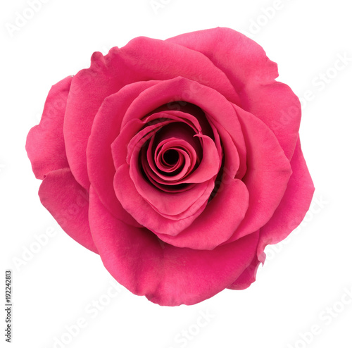 Fotobehang Roses Pink Rose Blossom Isolated on White