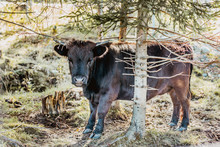 Mini Cow Dexter Behind The Tree , Amazing Nature