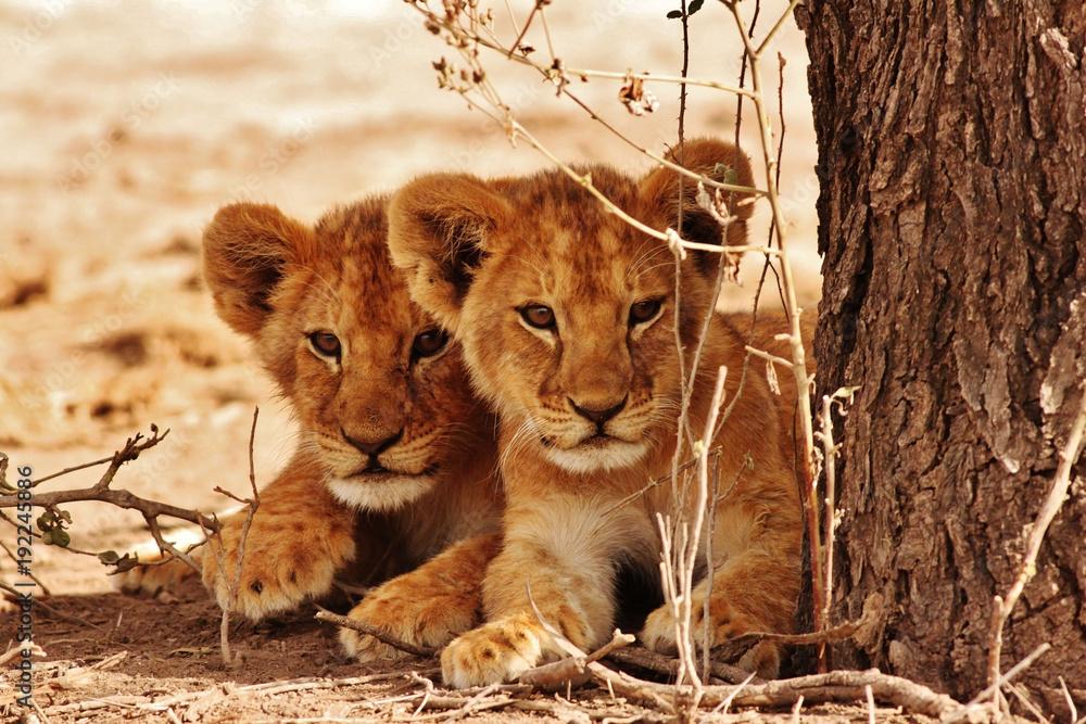 Fototapeta Lion cubs