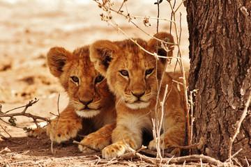 Fototapeta Lew Lion cubs