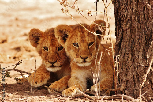 Canvas Print Lion cubs