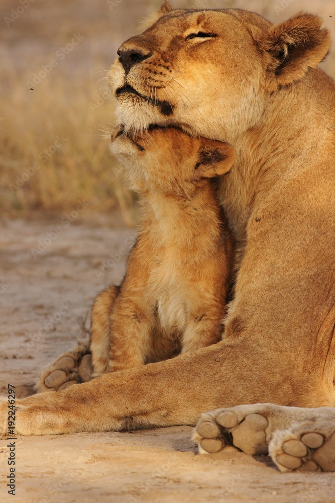 Fototapeta Lion family in serengeti