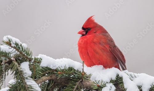 Photo  Cardinal In Snow