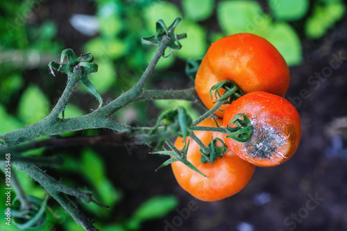 Fotografie, Obraz  Grey mold  on tomato