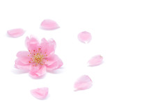 Japanese Peach Flower And Petals On White Background